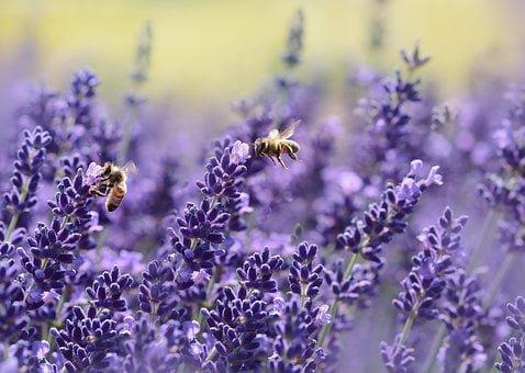 Lavender, Bee, Summer, Purple, Garden