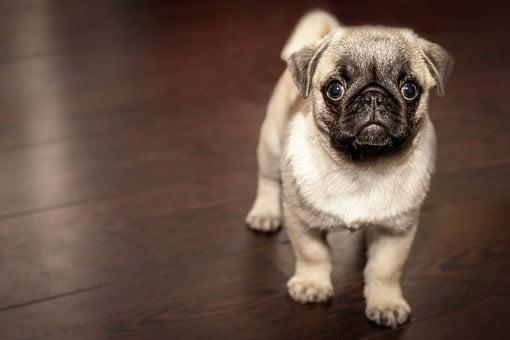 Pug, Puppy, Dog, Animal, Cute, Pug, Pug